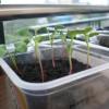 栽培11日目の室内ラディッシュ