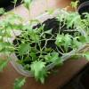 栽培17日目水菜って成長早いねっ