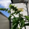ベランダから空に咲くバジルの花