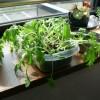 OMG!水菜の水が切れたっ