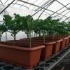 プランターでブロッコリーを栽培