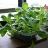 小松菜を室内で栽培27日目