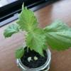室内の瓶プラで栽培しているシソの葉