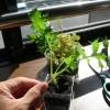 室内の水菜ミニプランター間もなく収穫時期