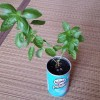 バジル穴無し栽培2年目の茎を切り落としても…