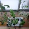 自家栽培がふくむ室内栽培の面白味