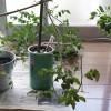 地面から這い上がる室内ミニトマトの生き方