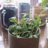 水菜の栽培38日の成長過程