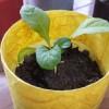 葉もの野菜のサンチュを栽培