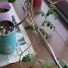 2年越しに息の長いミニトマト栽培