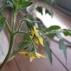 2年越しのミニトマトに習う栽培