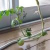黒土で育てる室内ミニトマト