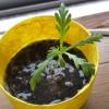 旅路栽培における春菊の浸水栽培
