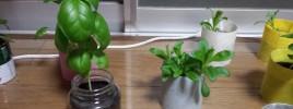 ハーブバジルのビンプランター栽培
