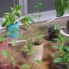 室内ハーブの栽培に學ぶ