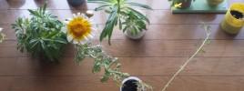 5cmタッパで花咲く春菊
