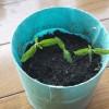 芽が出た室内ミニトマト