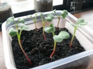 栽培9日目はつか大根の成長