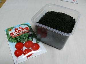 味噌の容器ではつか大根を栽培