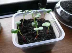 栽培12日目のラディッシュ