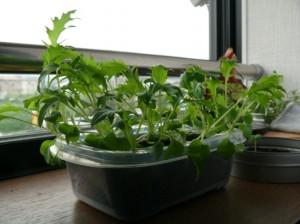 水菜栽培17日目のタッパプランター