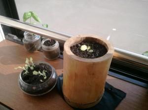 サニーレタスを竹プランターに移植