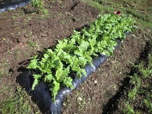 マルチ使用で大根を栽培中