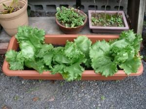 ご自宅プランター菜園