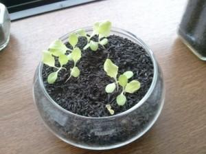 栽培21日目のサニーレタス