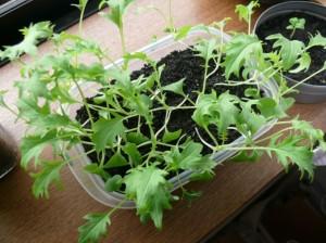 栽培17日目水菜の成長って早い
