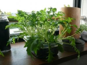 水菜栽培の復活劇