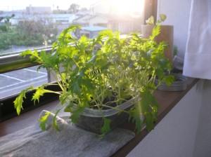 夕日と水菜栽培