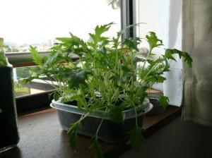 タッパで水菜を栽培する