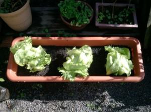 レタスをプランター菜園