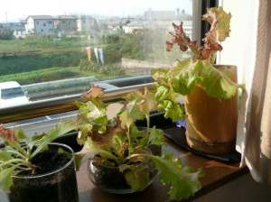 59日目のサニーレタス栽培