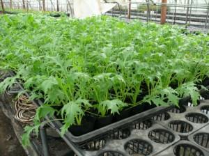 9cmポットの水菜栽培