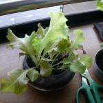 アクアプランターでサニーレタスを栽培