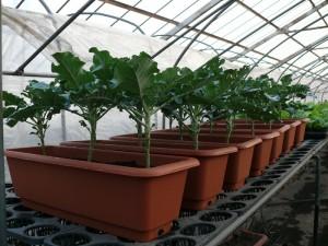 プランターでブロッコリー栽培
