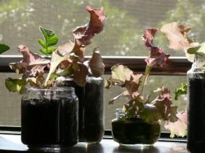 ガラスプランターでサニーレタス栽培