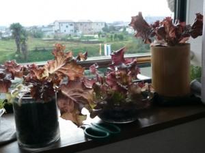サニーレタスらしい葉の色になってきた
