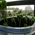 小松菜の発芽