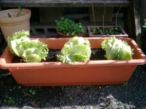 レタス3つをプランター菜園