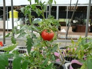 美味しそうなトマトのポット栽培