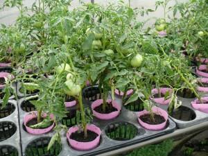 9cmポットでトマト栽培