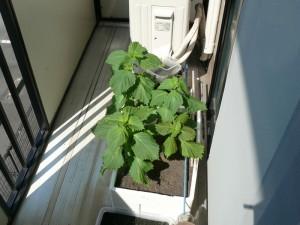 水分補給後のシソの葉
