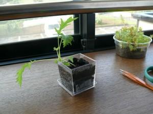 25日目水菜の室内栽培