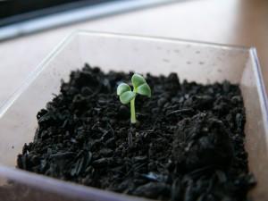 室内のミニプランターから水菜が発芽