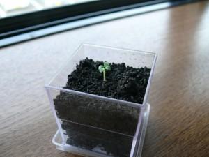 水菜が発芽した