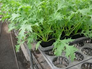 ポットで水菜を栽培する