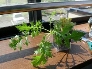 ミニプランターで水菜栽培中